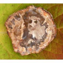 versteinertes Holz, kleine Scheibe