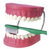 EDUPLAY Zahnpflegemodell