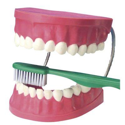 EDUPLAY Zahnpflegemodell | 140-120067 / EAN:4260081544459